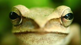 飞行的雨蛙宏观头和眼睛画象关闭  股票视频