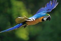 飞行的青和黄色金刚鹦鹉- Ara ararauna 免版税库存照片