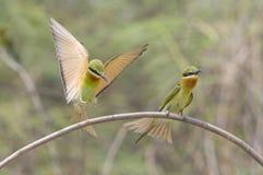 飞行的青被盯梢的食蜂鸟(食蜂鸟属Philippinus) 免版税库存照片