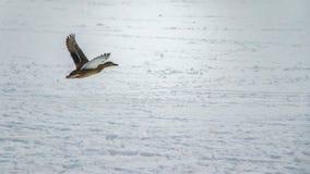 飞行的鸭子上面 免版税图库摄影