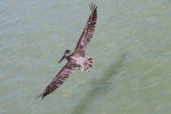 飞行的鹈鹕 库存照片