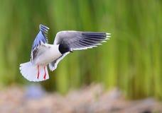 飞行的黑带头的鸥(鸥属ridibundus) 免版税库存图片