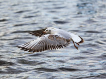 飞行的黑带头的鸥 免版税图库摄影