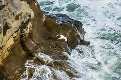 飞行的gannet鸟 图库摄影