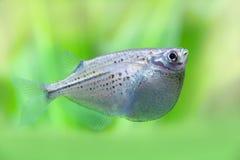 飞行的heavily-keeled身体鱼 Gasteropelecus sternicla 淡水hatchetfishes 绿色植物软的背景 宏指令 免版税库存图片