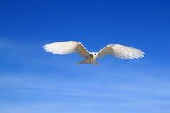 飞行神仙的燕鸥鸟 库存照片