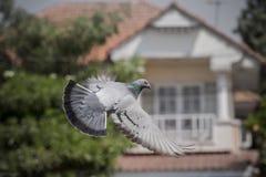 飞行空中,自由、媒介和新闻标志的鸽子鸟 免版税库存图片