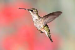 飞行红喉刺莺蜂鸟的红宝石 库存图片