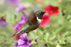 飞行红喉刺莺蜂鸟的红宝石 免版税库存图片