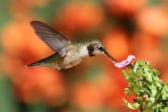 飞行红喉刺莺蜂鸟的红宝石 库存照片