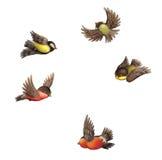 飞行红腹灰雀和山雀。 图库摄影