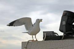 飞行纯海鸥天空的鸟 库存图片