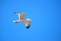 飞行纯海鸥天空的鸟 免版税库存图片