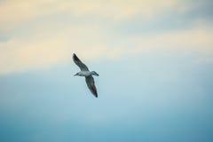 飞行纯海鸥天空的鸟 免版税图库摄影