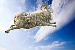 飞行绵羊 库存照片