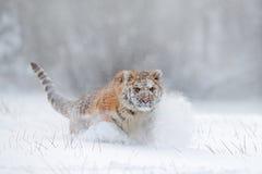 飞行老虎 在狂放的冬天自然的老虎 跑在雪的阿穆尔河老虎 行动与危险动物的野生生物场面 冷冬天 免版税库存照片