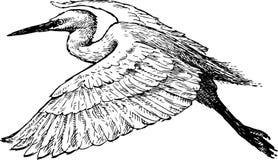 飞行苍鹭 免版税库存照片