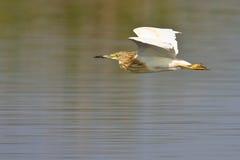飞行苍鹭squacco 图库摄影