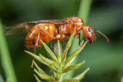 飞行蚂蚁 图库摄影
