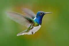 飞行蜂鸟 从自然,在飞行的蜂鸟的行动场面 蜂鸟在飞行蓝色和白色蜂鸟Whi的森林里 免版税库存照片