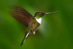 飞行蜂鸟 蜂鸟在有开放翼的绿色森林里 抓住衣领口的印加人, Coeligena torquata,从Mindo的蜂鸟为 免版税库存照片