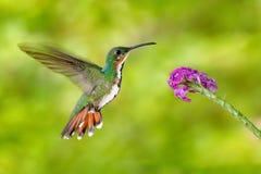 飞行蜂鸟 蜂鸟绿色breasted芒果蝇,桃红色花 野生热带海鸟在自然栖所,野生生物,哥斯达黎加 P 免版税库存照片