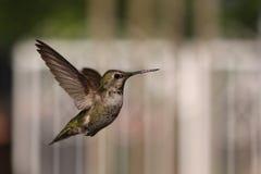 飞行蜂鸟 免版税库存图片