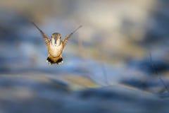 飞行蜂鸟 免版税图库摄影