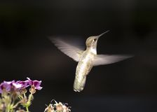 飞行蜂鸟 免版税库存照片