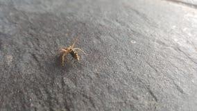 飞行蜘蛛 库存图片