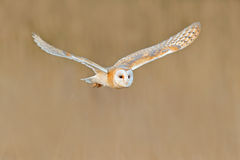 飞行谷仓猫头鹰,在早晨好的光的野生鸟 动物在自然栖所 在草的鸟着陆,行动野生生物场面, 免版税库存照片