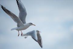 飞行通过在多云天空的两只海鸥 库存图片