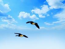 飞行通过多云天空的鹅鸟 免版税库存照片