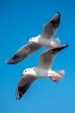 飞行通过的两只海鸥  免版税库存图片