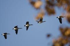 飞行通过秋天树的加拿大鹅 库存图片