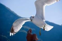 飞行食物现有量人力海鸥采取 库存图片