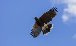 飞行高在天空的哈里斯鹰 免版税库存照片