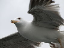 飞行高在天空的海鸥 免版税图库摄影