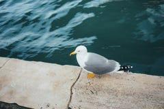 飞行鸥在米兰,意大利 免版税库存照片