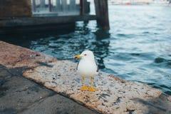 飞行鸥在米兰,意大利 免版税库存图片