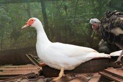 飞行鸭子和火鸡母鸡在农场 库存图片