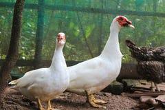 飞行鸭子在农场 免版税库存照片