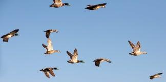 飞行鸭子 免版税库存图片