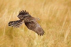 飞行鸷苍鹰,鹰类gentilis,与黄色夏天草甸在背景中,鸟在自然栖所,行动s 免版税库存照片