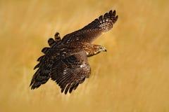 飞行鸷苍鹰,鹰类gentilis,与黄色夏天草甸在背景中,鸟在自然栖所,行动s 免版税库存图片