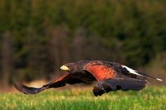 飞行鸷,哈里斯鹰, Parabuteo unicinctus,着陆 鸟在自然栖所 行动从自然的野生生物场面 双 库存图片