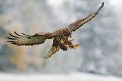 飞行鸷 鸟在有开放翼的多雪的森林里 从自然的行动场面 鸷共同的肉食,鵟鸟鵟鸟, 免版税库存图片