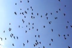 飞行鸽子与蓝天的鸟人群 免版税图库摄影