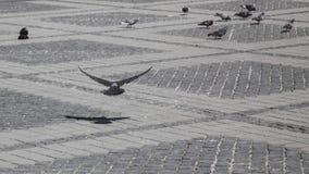 飞行鸽子在城市广场 免版税库存图片