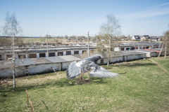 飞行鸽子画象,关闭 免版税库存照片